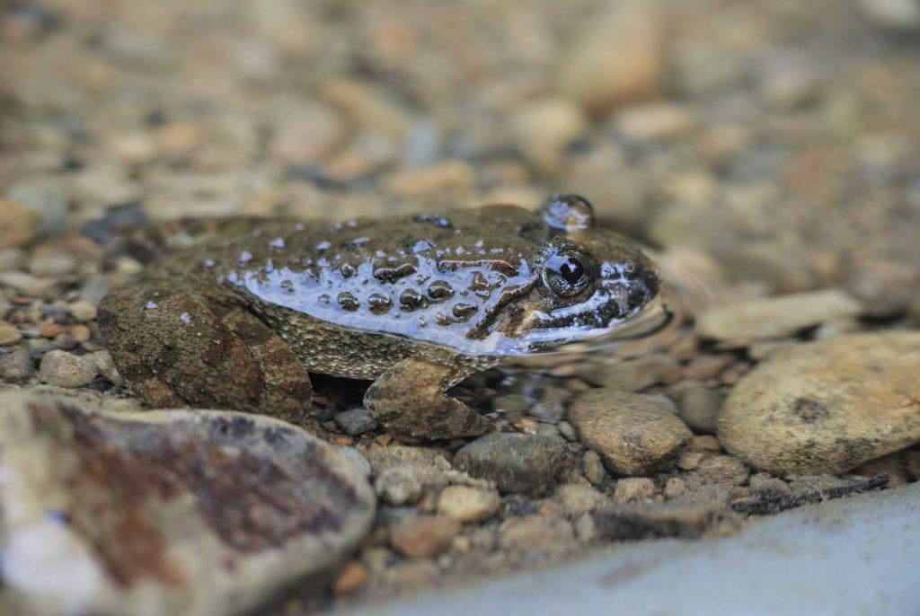Kuhliis Fanged Frog