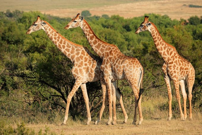 Giraffes in natural habitat